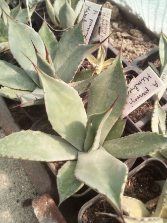 Agave parryi Mimbres, Grant Co., NM, USA