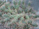 Maihueniopsis darwinii ('neuquensis' form) - 2x rootless cutting