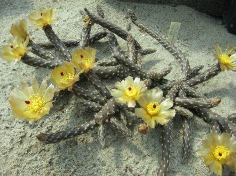 Pterocactus tuberosus DJF188