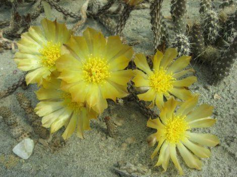Pterocactus tuberosus HUN1744 - 1x fresh cutting