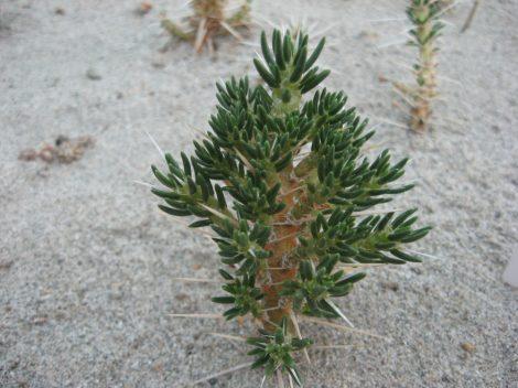 Maihuenia patagonica Malargüe, Mendoza, Arg. - PLANT