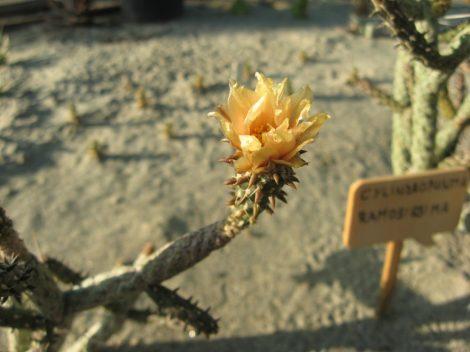 Cylindropuntia ramosissima Bullhead City, Mohave Co., AZ, USA