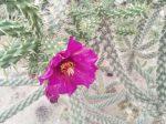 Cylindropuntia spinosior DJF149.01 Calabasas, AZ, USA