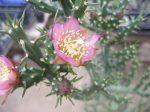 Cylindropuntia kleiniae - 1x fresh cutting