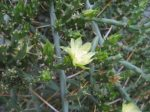 Cylindropuntia leptocaulis - 2x fresh cutting