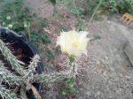 Grusonia marenae (Mareniopuntia marenae)