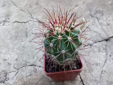 Sclerocactus parviflorus subsp. havasupaiensis RP123