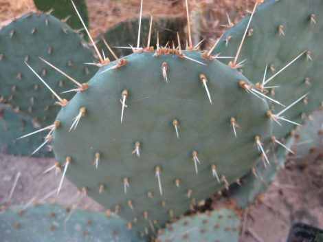Opuntia tortispina DJF1060.17 (EU SHIPPING ONLY!)