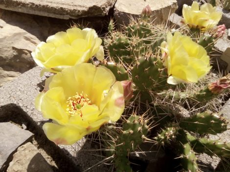 Opuntia x columbiana Lincoln Co., WA, USA