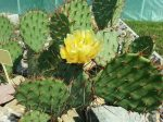 Opuntia phaeacantha DJF1339
