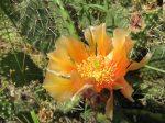 Opuntia phaeacantha 'Orangeade'