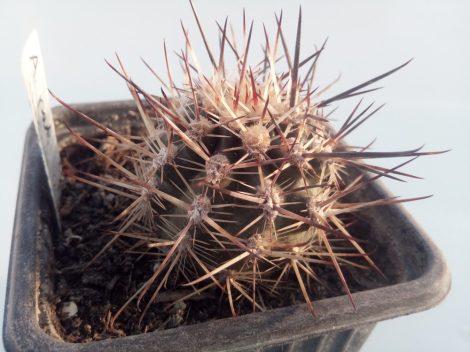 Austrocactus patagonicus JN605