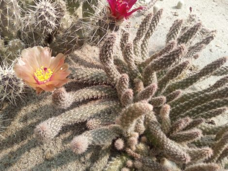 Pterocactus valentini DJF342