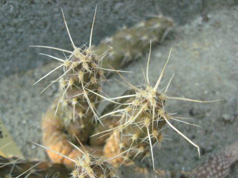 Pterocactus fischeri JN24
