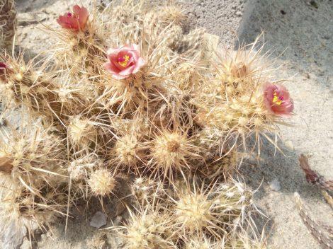 Pterocactus fischeri - 1x fresh cutting