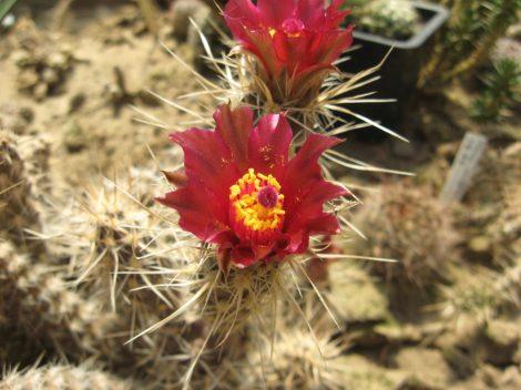 Pterocactus fischeri KP165