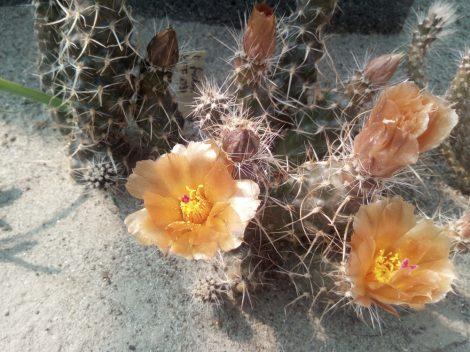 Pterocactus fischeri KFF1098