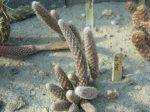 Pterocactus megliolii JN995