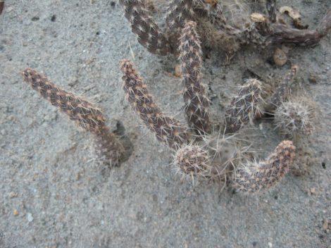 Pterocactus fischeri JN19