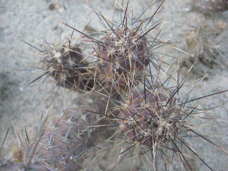 Pterocactus skottsbergii MK1198