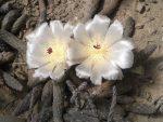 Pterocactus reticulatus