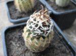 Navajoa peeblesiana f. menzelii RP116