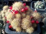 Mammillaria prolifera (syn. M. pusilla)