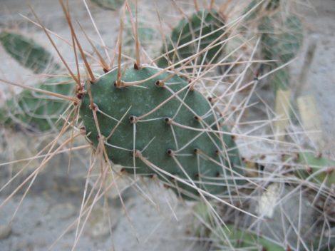 Opuntia sulphurea JN435