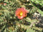 Cylindropuntia x viridiflora