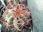 Denmoza rhodacantha KFF1106