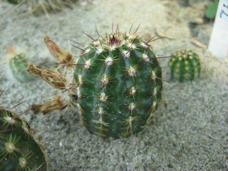 Echinocereus viridiflorus SB872