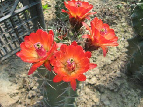 Echinocereus triglochidiatus VZD886