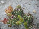 Echinocereus viridiflorus var. montanus