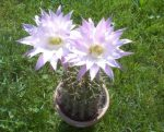 Echinopsis oxygona (syn. Echinonyctanthus multiplex)