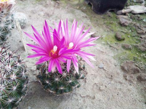 Escobaria vivipara var. neomexicana SB721