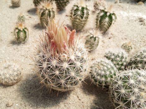 Escobaria guadalupensis SB910