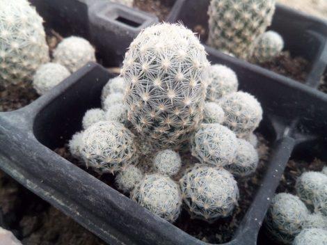 Escobaria sneedii subsp. leei SB397