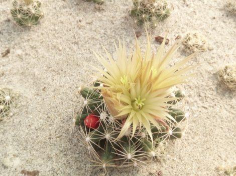 Escobaria missouriensis var. similis