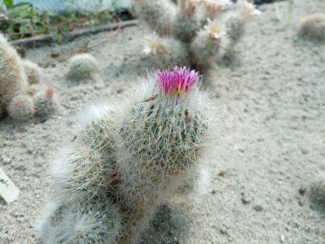 Escobaria laredoi SB289 General Cepada, Coahuila, Mexico