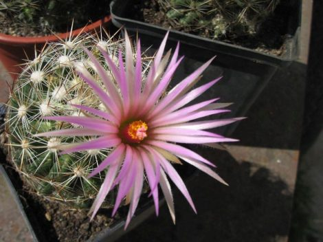 Escobaria vivipara Sulphur, Murray Co., OK, USA