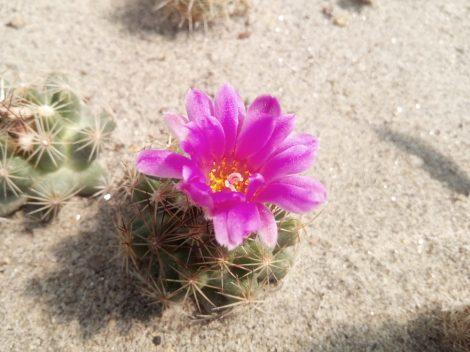 Escobaria hesteri SB430 Brewster County, Texas, USA