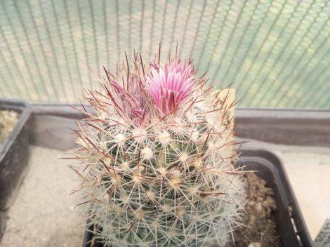 Escobaria organensis SB823 Organ Mountains, Dona Ana Co., NM, USA