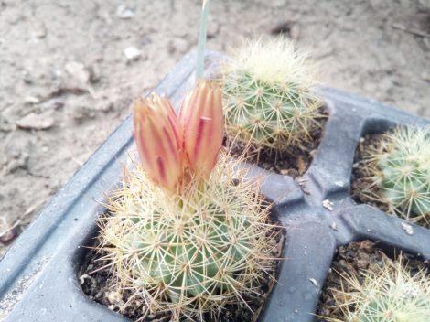 Escobaria roseana (Acharagma roseanum)
