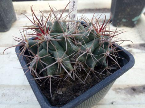 Ferocactus wislizeni SB228 Luna Co., NM, USA