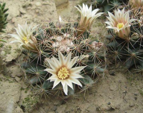 Mammillaria heyderi subsp. meiacantha JRT5191 San Miguel Co., NM, USA