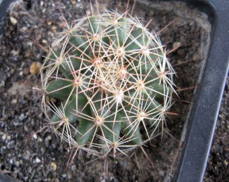 Mammillaria heyderi JRT4181 Kent Co. TX USA