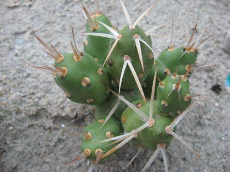Maihueniopsis darwinii KVV1001