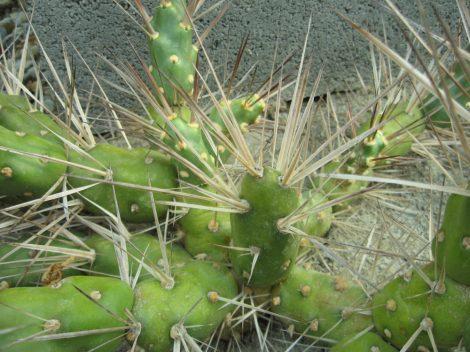 Maihueniopsis darwinii var. hickenii JN7 - 1db hajtás