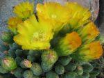 Maihueniopsis ovata (Tephrocactus ovatus) - 2db hajtás