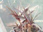 Ledebouria socialis (sny. Scilla violacea) - Silver Squill